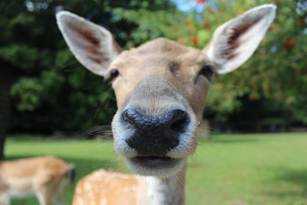 fallow-deer-602253_1280