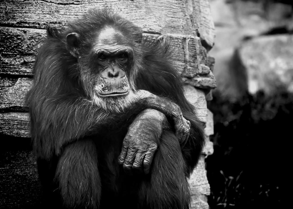 monkey-823047_1280