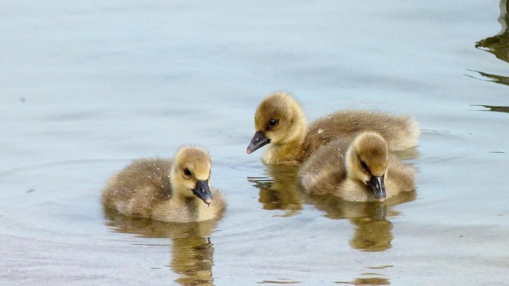 chicks-805104_1280