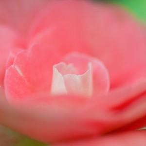 rose-143932_640