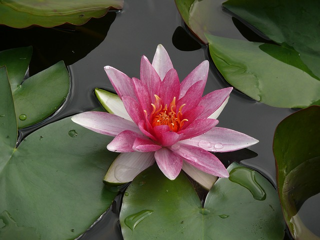 water-lily-922148_640